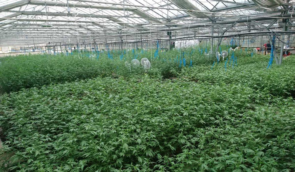 Vendita Semi Piante : Vendita semi e piante di canapa servizi consulenza